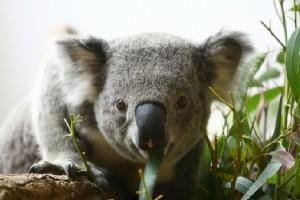 04ユーカリの葉を食べていたコアラ