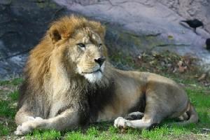 06ドヤ顔のライオン